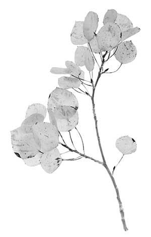 aspen-branch-300