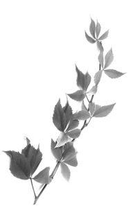 Leaf Branch 7